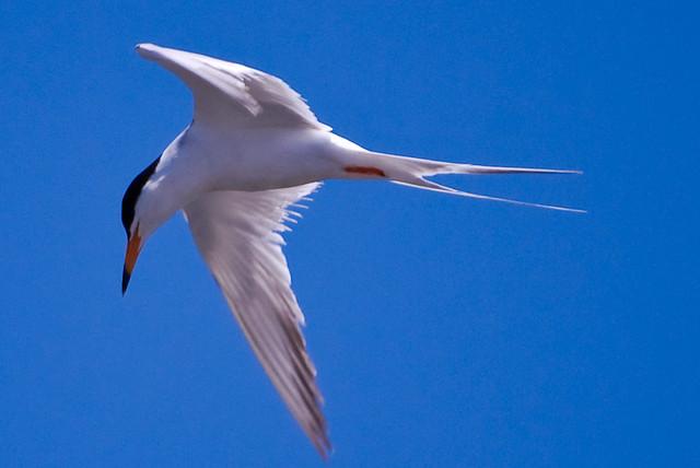 Forster Tern Scanning