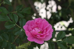 blossom(0.0), rosa rubiginosa(0.0), rosa wichuraiana(1.0), shrub(1.0), garden roses(1.0), rosa 㗠centifolia(1.0), floribunda(1.0), flower(1.0), rosa gallica(1.0), plant(1.0), flora(1.0), rosa rugosa(1.0), petal(1.0),