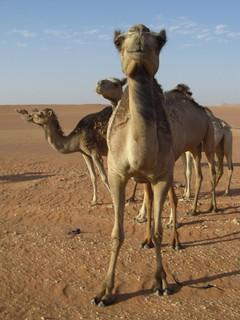 Camel Algeria