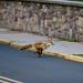 Fox Race