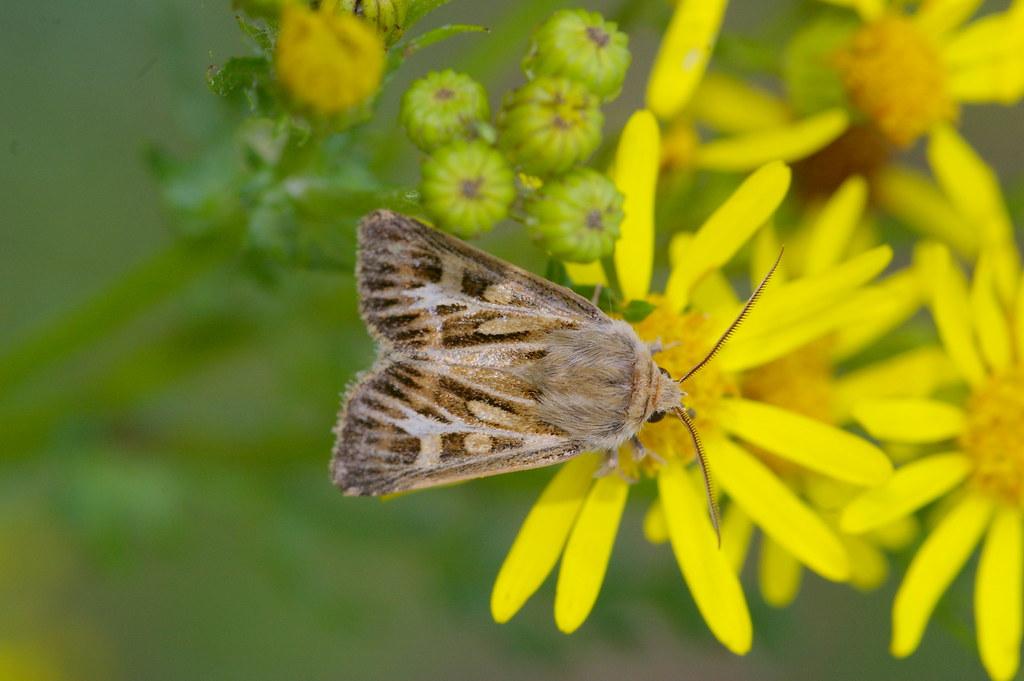 Antler Moth - 2176