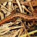 Pygmy Salamander - Photo (c) Patrick Coin, some rights reserved (CC BY-NC-SA)