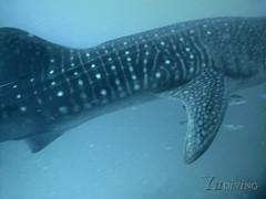 Joshua Whale Shark 31