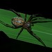 Unknown orbweaver, Peruvian Amazon