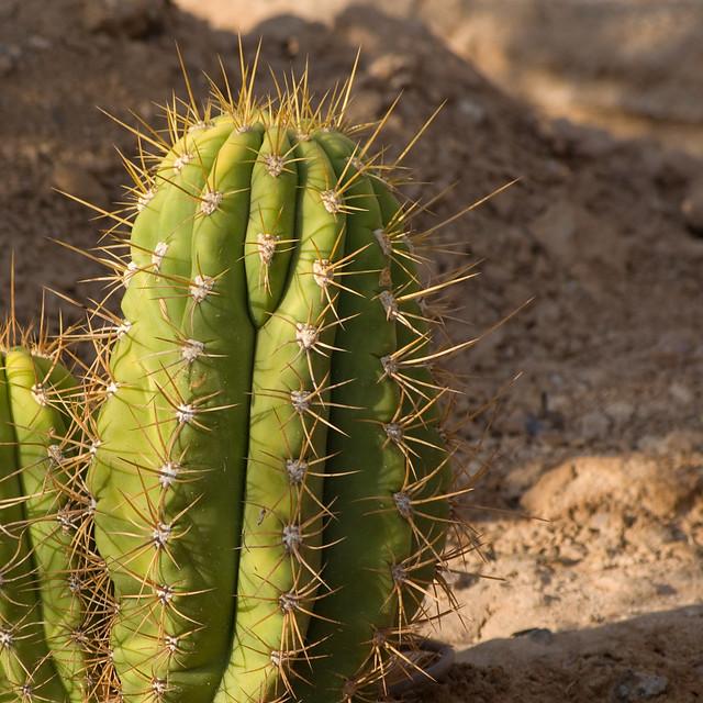 Argentine saguaro cardon grande echinopsis terscheckii for Cactus argentina
