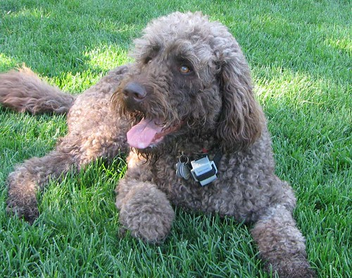 Our Labradoodle Puppies For Sale Are Priced By Color Not
