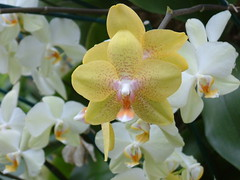 cattleya labiata(0.0), cattleya trianae(0.0), flower(1.0), plant(1.0), orchid family(1.0), phalaenopsis equestris(1.0), flora(1.0),