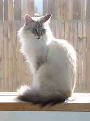 turkish angora(0.0), balinese(0.0), domestic short-haired cat(0.0), domestic long-haired cat(1.0), animal(1.0), turkish van(1.0), small to medium-sized cats(1.0), pet(1.0), mammal(1.0), fauna(1.0), ragdoll(1.0), cat(1.0), whiskers(1.0), norwegian forest cat(1.0), birman(1.0),