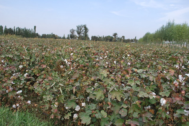 Photo of a cotton field in China