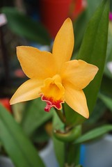 cattleya labiata(0.0), cattleya trianae(0.0), narcissus(0.0), flower(1.0), yellow(1.0), plant(1.0), macro photography(1.0), laelia(1.0), flora(1.0), petal(1.0),