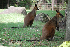 wallaby, animal, mammal, fauna, macropodidae, wildlife,