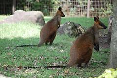 squirrel(0.0), fox squirrel(0.0), wallaby(1.0), animal(1.0), mammal(1.0), fauna(1.0), macropodidae(1.0), wildlife(1.0),