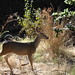 Small photo of Deer at Alum Rock Park