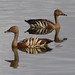 Plumed Whistling Duck - Photo (c) Arthur Chapman, some rights reserved (CC BY-NC-SA)