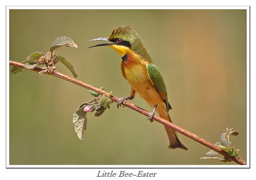 Gambia ---- Little Bee-Eater