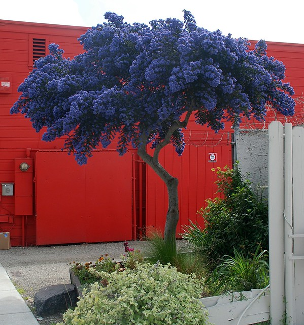 Ceanothus 39 dark star 39 flickr photo sharing for Popular small trees