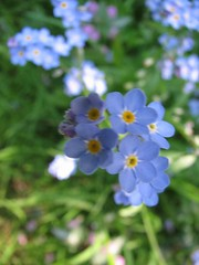 annual plant, flower, plant, wildflower, flora, forget-me-not,