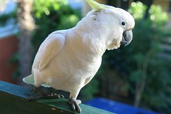 parakeet(0.0), cockatoo(1.0), animal(1.0), wing(1.0), pet(1.0), sulphur crested cockatoo(1.0), fauna(1.0), beak(1.0), bird(1.0),