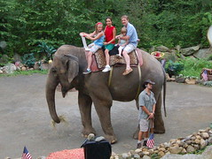 animal, indian elephant, elephant, elephants and mammoths, pack animal, mahout,