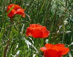 eschscholzia californica(1.0), flower(1.0), plant(1.0), wildflower(1.0), flora(1.0), coquelicot(1.0), meadow(1.0), poppy(1.0),