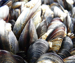 sunflower seed(0.0), animal(1.0), clam(1.0), molluscs(1.0), shellfish(1.0), fish(1.0), seafood(1.0), fauna(1.0), food(1.0), close-up(1.0), cockle(1.0), clams, oysters, mussels and scallops(1.0), mussel(1.0),