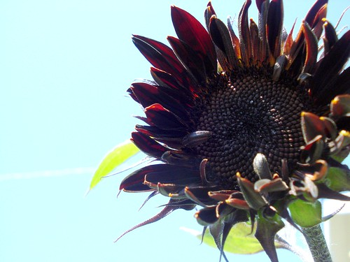 michele's sunflower