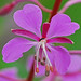 fireweeds - Photo (c) Jerry Oldenettel, some rights reserved (CC BY-NC-SA)