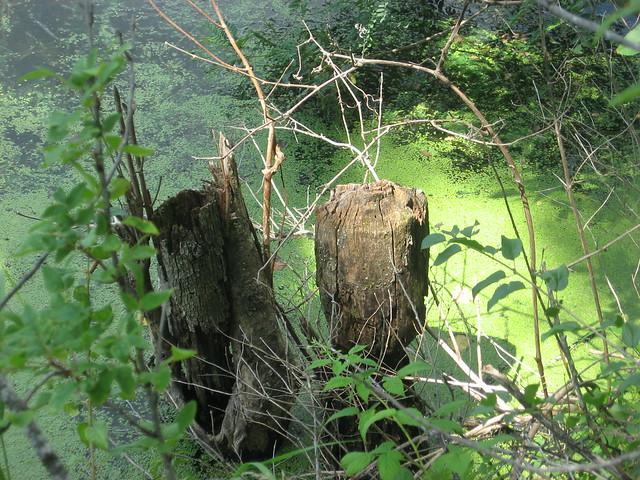 Beaver chewed tree | Flickr - Photo Sharing!