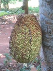 medicinal mushroom(0.0), plant(0.0), oyster mushroom(0.0), produce(0.0), food(0.0), tree(1.0), artocarpus(1.0), fruit(1.0), durian(1.0), jackfruit(1.0),