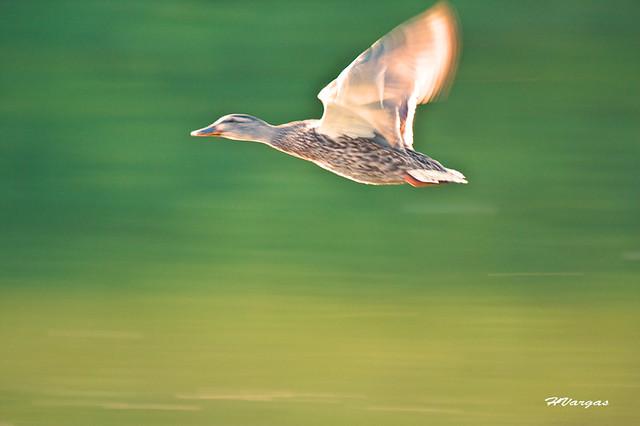 Duck_42