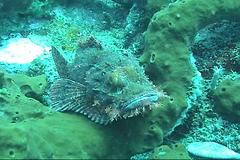 Stonefish / Inimicus japonicus / オニオコゼ