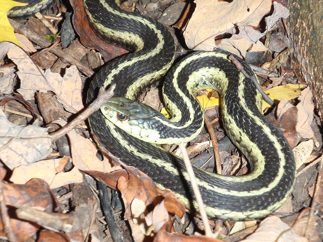 poisonous snakes in india How to identify a venomous snake identifying poisonous north american snakes identifying poisonous snakes in the uk identifying poisonous snakes in india.