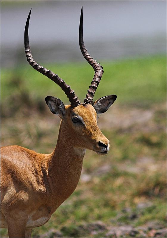 Impala buck portrait