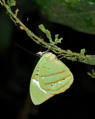Nessaea hewitsoni roosting in Yaupi