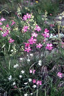 Dianthus sylvestris Wulf.