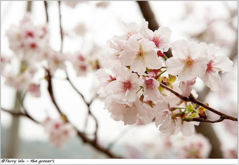 2014-3-01 拉拉山櫻花-12