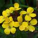 Yellow wallflower by macfudge1UK