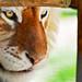 Golden Frame Wallpaper Framed Golden Tiger