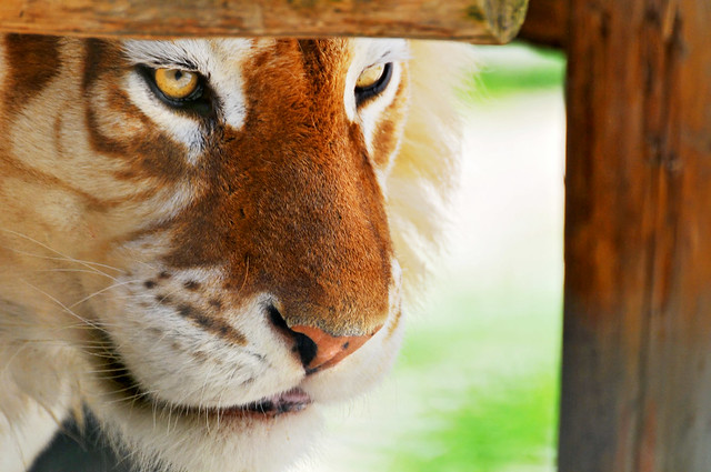 Framed golden tiger