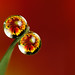 Flower dewdrop refraction #2 by Lord V