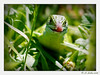 "<a href=""http://www.flickr.com/photos/cameland/2579531224/"">Photo of Lacerta viridis by Anne SORBES</a>"