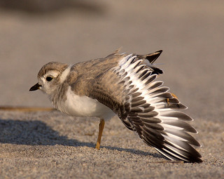Piping Plover Fledgling ~ Critically  Endangered Species