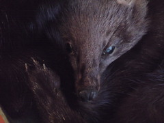 raccoon(0.0), whiskers(0.0), mink(0.0), animal(1.0), mustelidae(1.0), mammal(1.0), fauna(1.0), procyonidae(1.0),