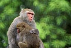 台灣獼猴 Monkey #19