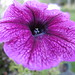 Petunia Flower by geoffeg