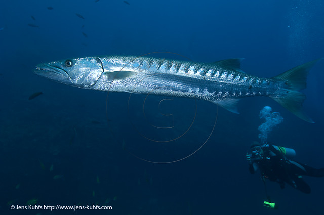 Barrakuda - Sphyraena barracuda