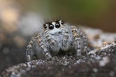 Macaroeris nidicolens female