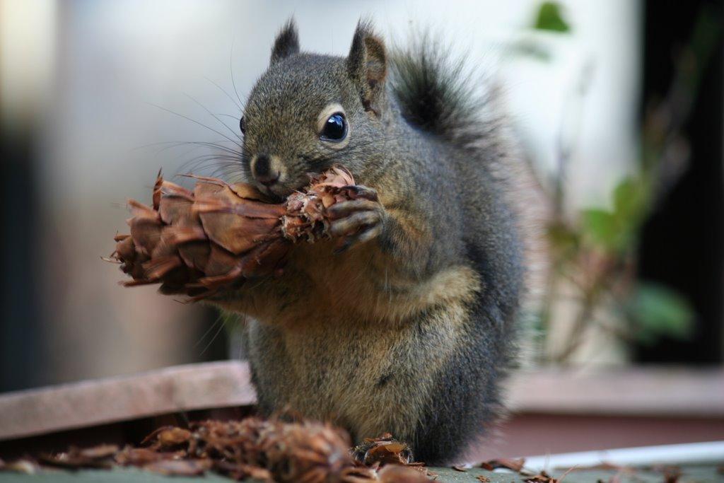Squirrel Eating Douglas Fir Seeds