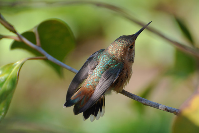Another Allen's Hummingbird-3042