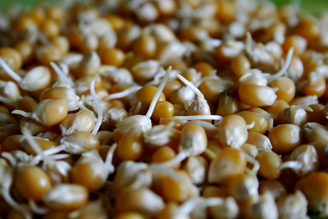 how to grow corn sprouts
